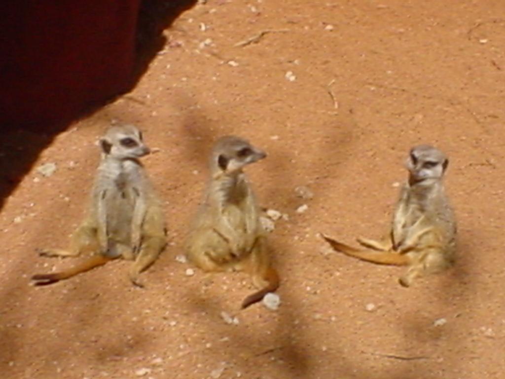 Meerkats Chillin'