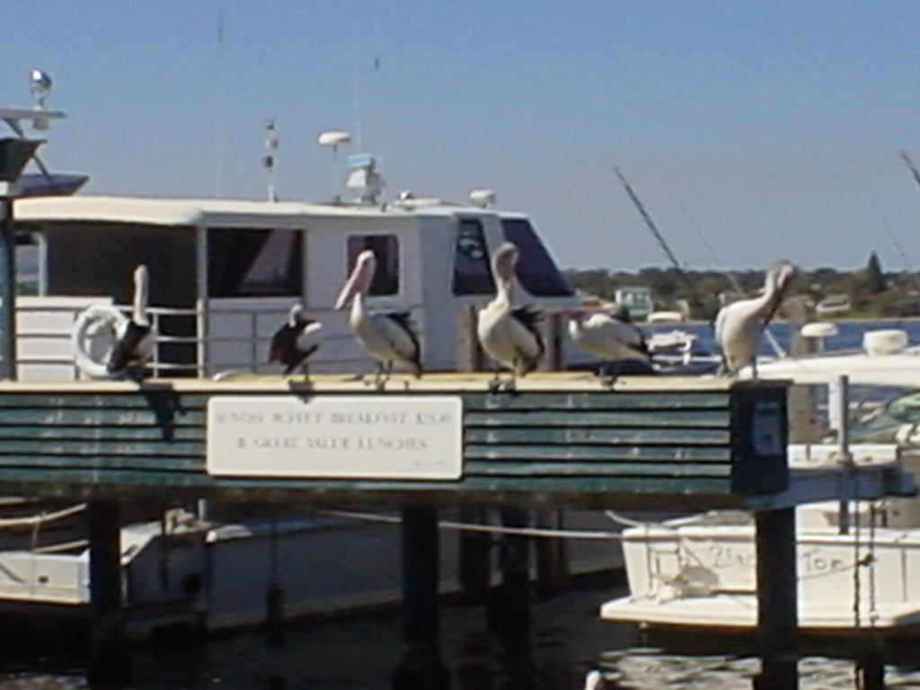 Pelicans On The Perch