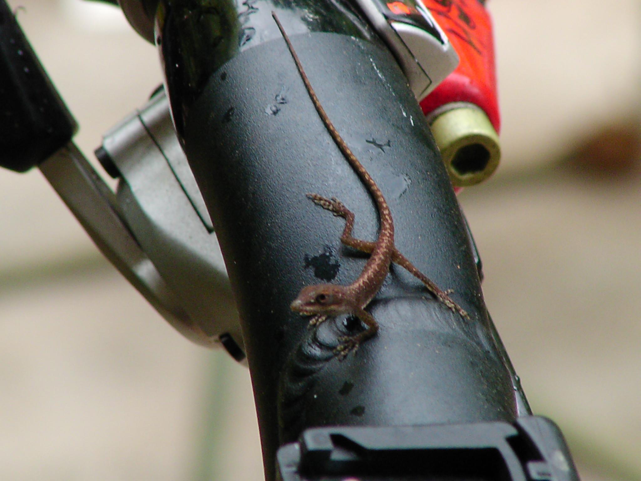 Biker Lizard