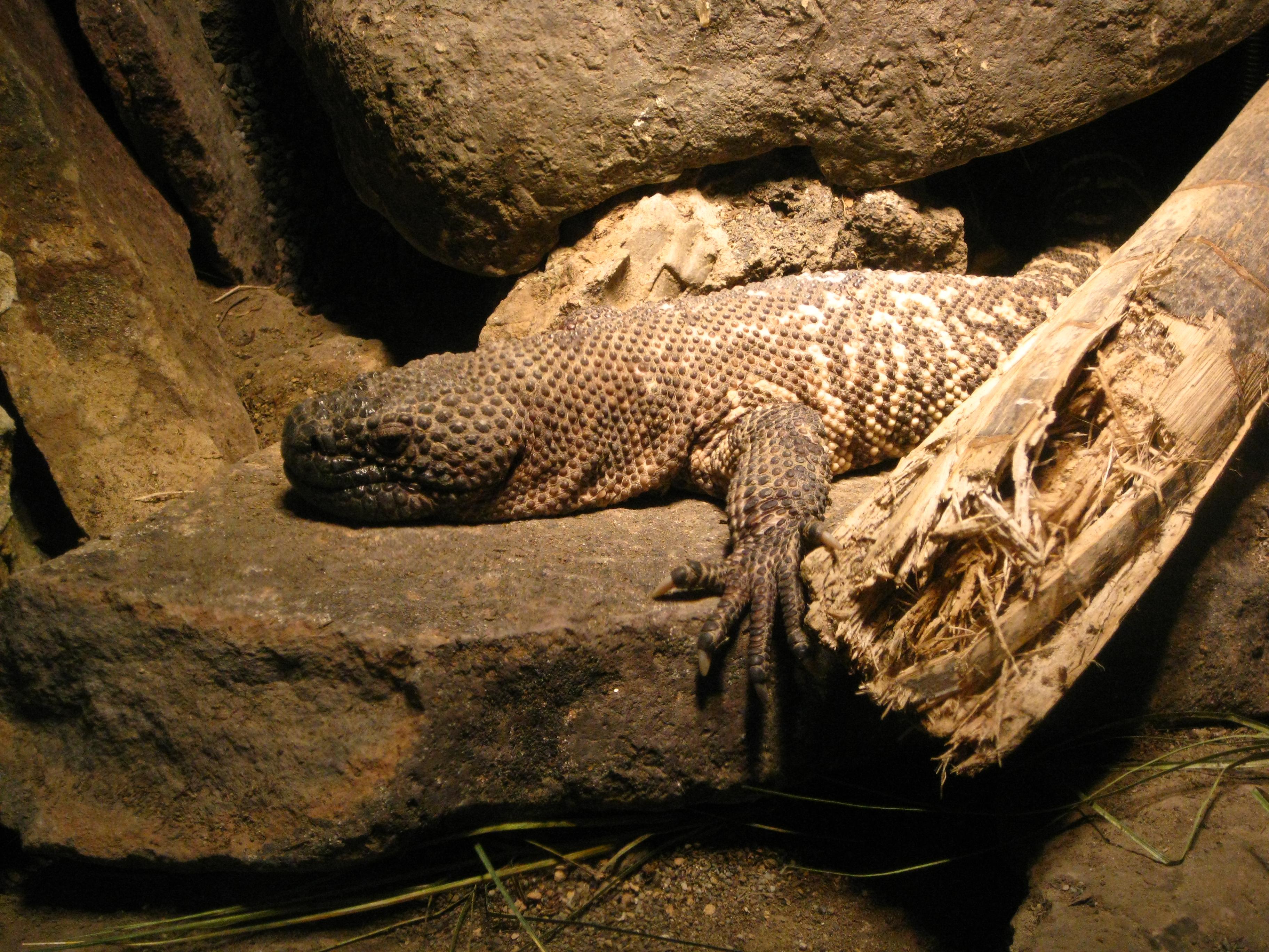 Beaded Lizard