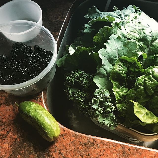 Quick harvest this morning. #Cucumber, pint of #blackberries, some #swisschard and a ton of 3 different types of #kale.
