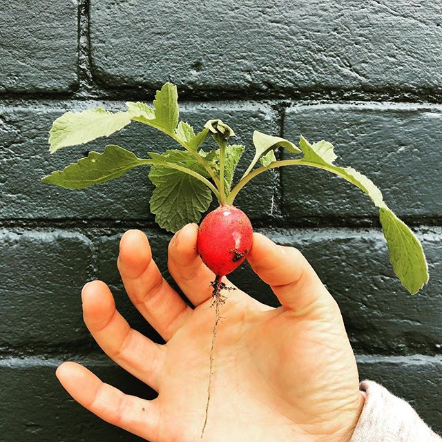 First harvest from our garden for this season!!! #veggiegarden #radish #organic #locavore