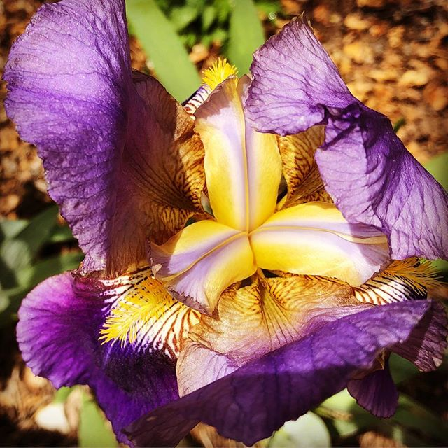 Irises are starting to pop. It's spring! #iris #flowers